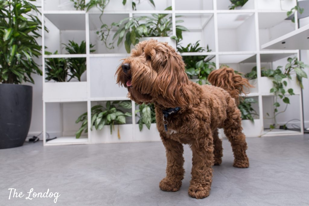Photo of Cockapoo office dog at Monzo HQ