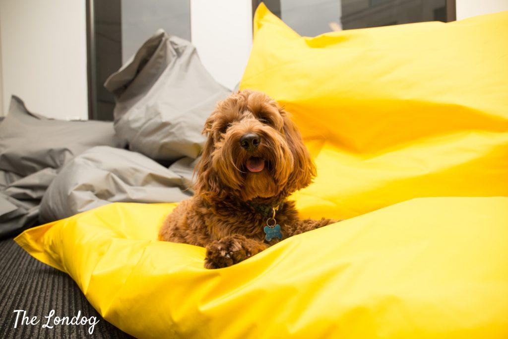 Cockapoo office dog on bean bag
