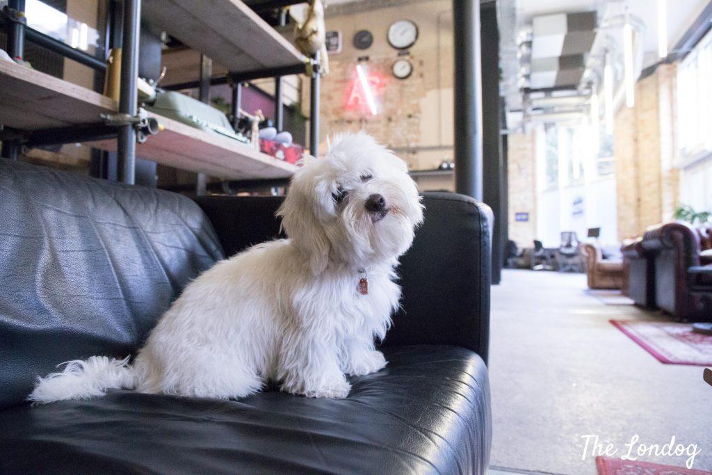 white small office dog does head tilt