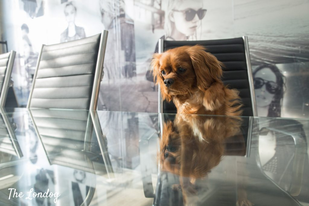Office dog puts paw on meeting room table