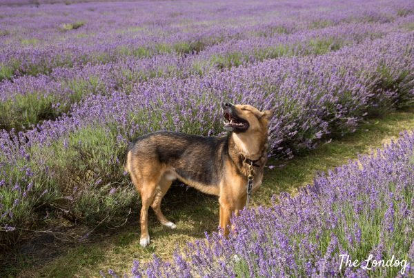 Dog sniffing air at Mayfield Lavender Farm