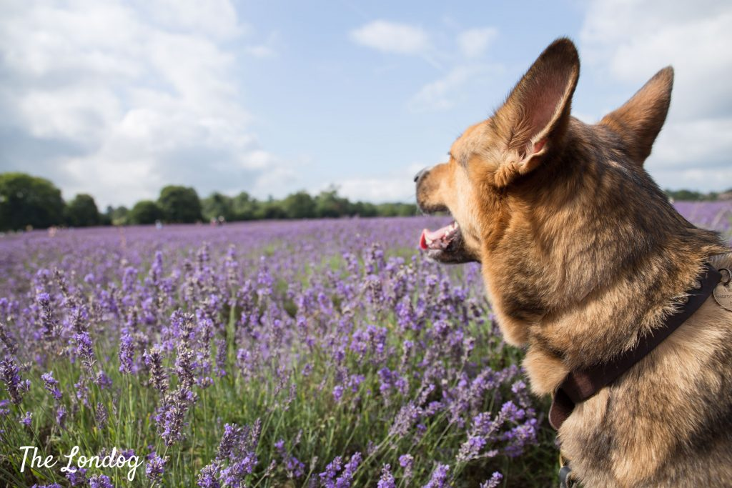 dog looking at lavender field in bloom