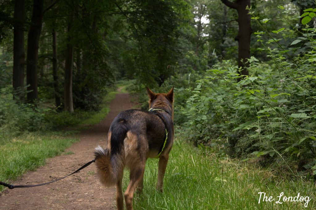 Dog on a lead at Hatfield House woodland