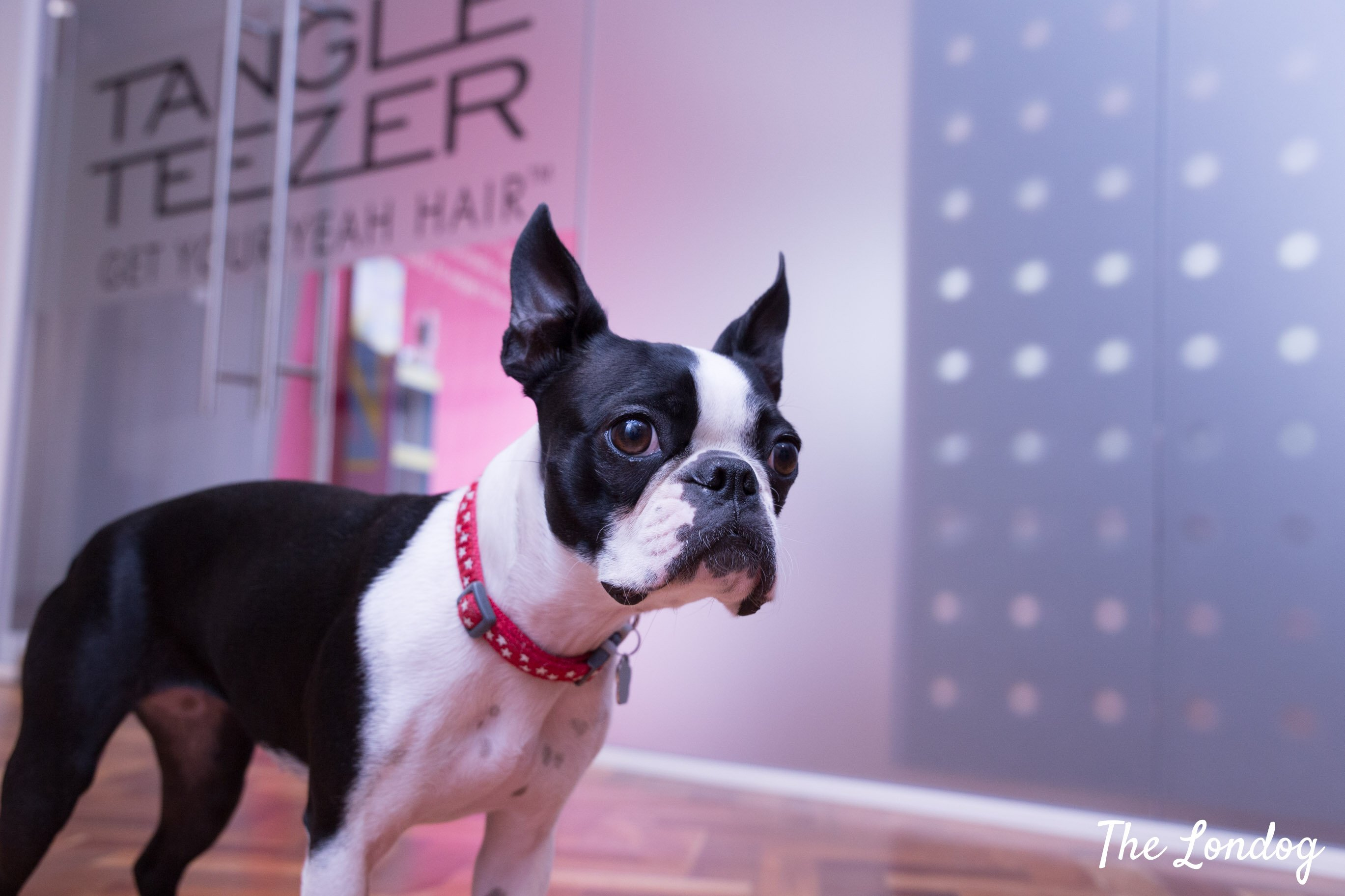 Boston Terrier office dog of Pet Teezer and Tangle Teezer at the office