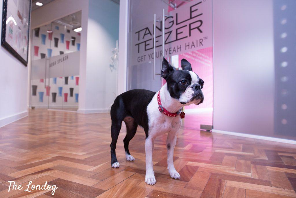 Boston Terrier office dog stands on wooden floor
