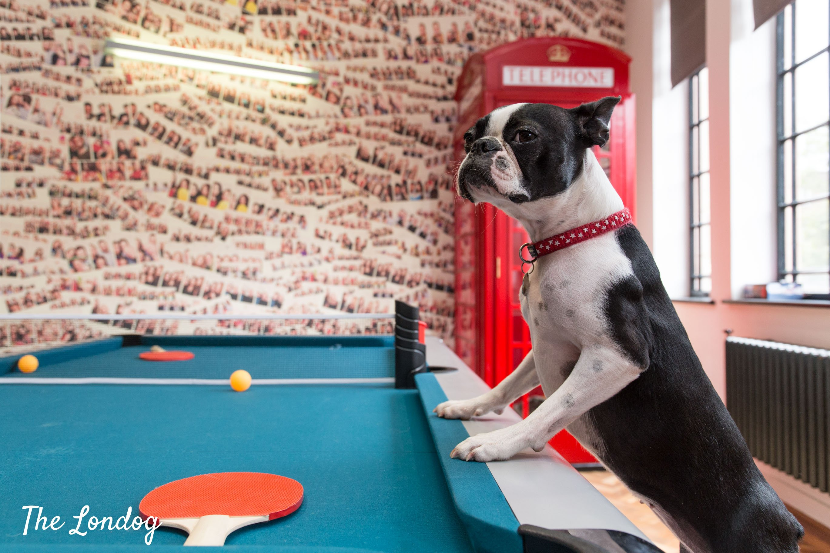 Office dog on table tennis table