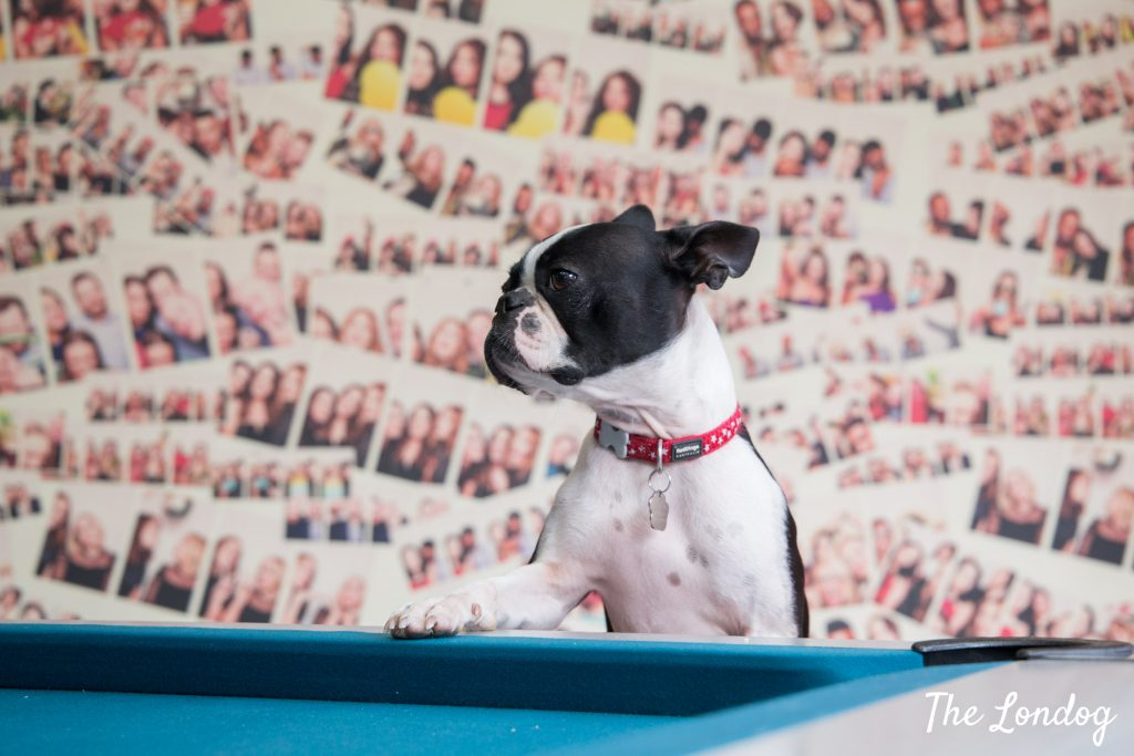 Boston Terrier office dog puts paw on table