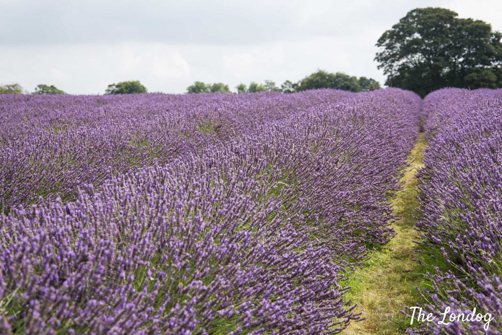 Photo of lavender fields in bloom
