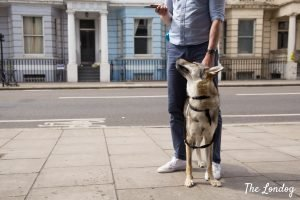 Photo of Vulric the wolfdog between the legs of his owner in Notting Hill during his first tour