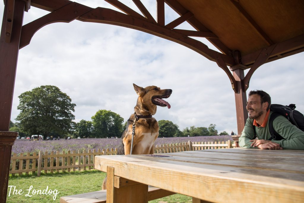Photo of dog and man under gazebo at lavender field