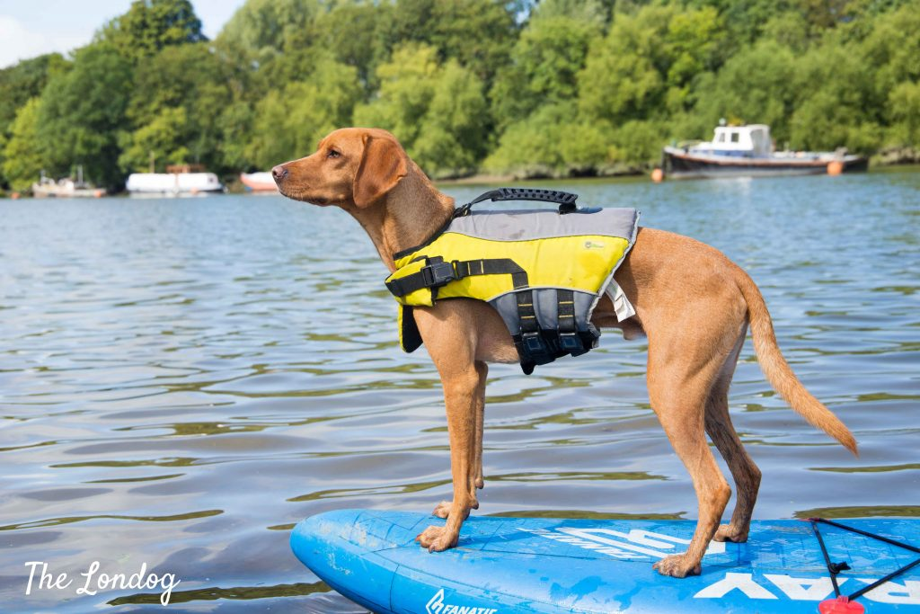 Dog friendly water activities in London are great. This dog enjoys stand-up paddle boarding