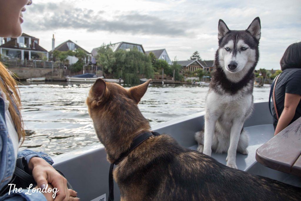 Dog unimpressed with other dog on a boat