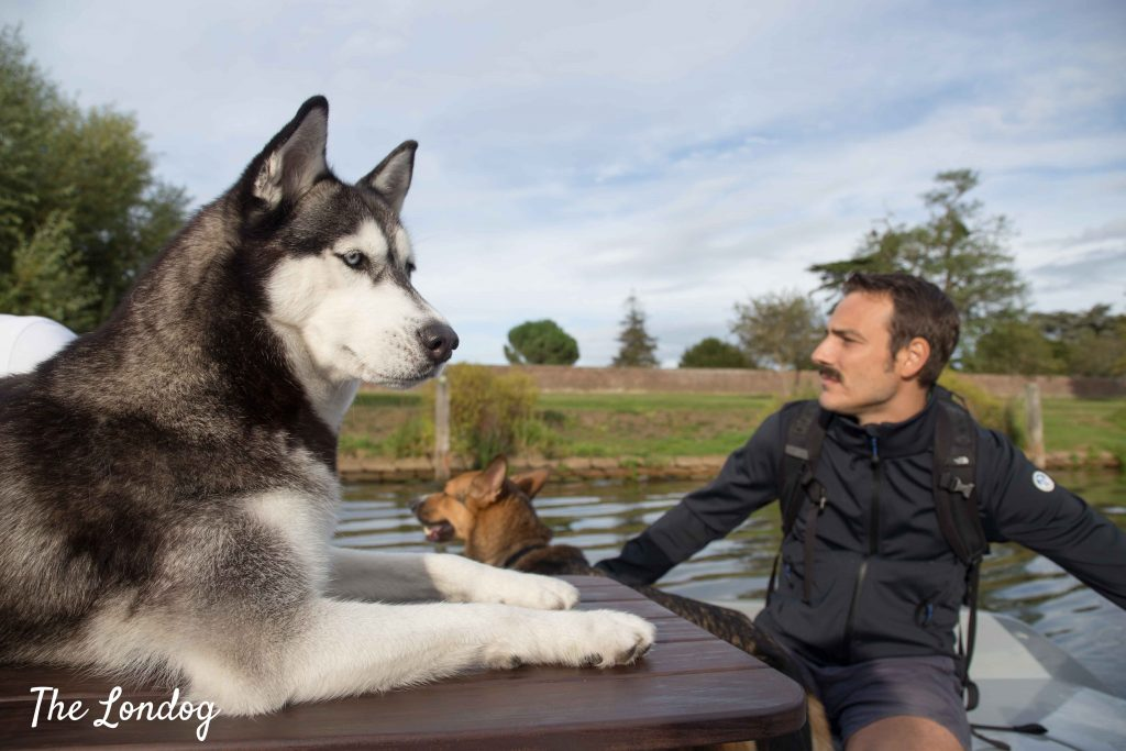 Husky on a table while man drives a boat