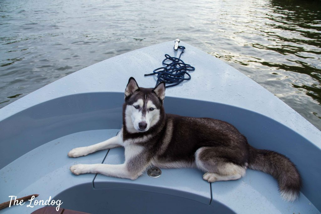 Husky dog chilling out at the bow of an electric boat