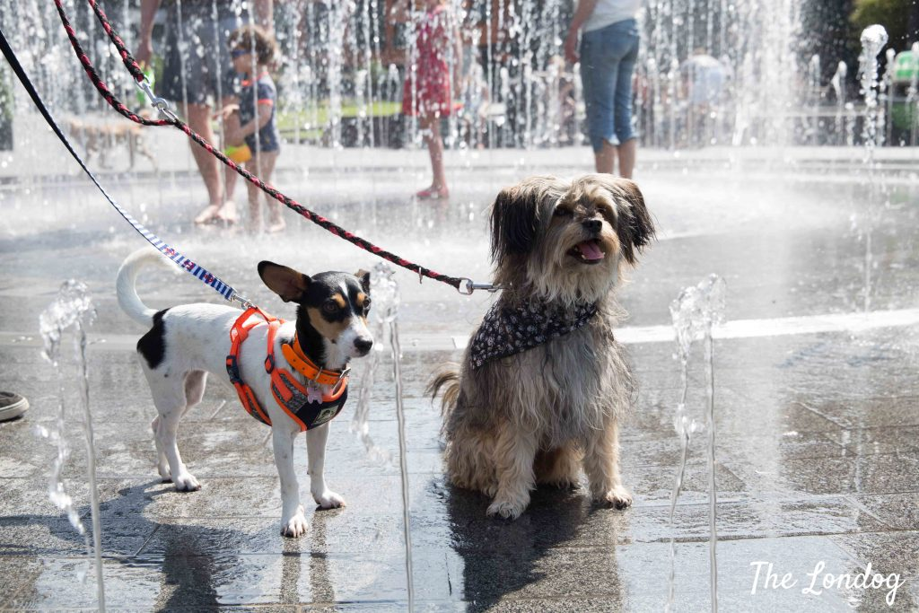 Two small dogs liking a water fountain sprinkles in London