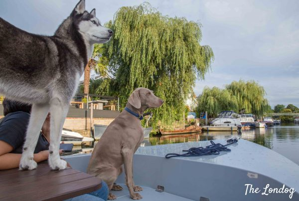Husky and Weimaraner on a boat on the Thames, stare at the horizon