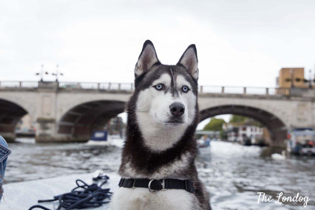 Husky on boat with bridge on background