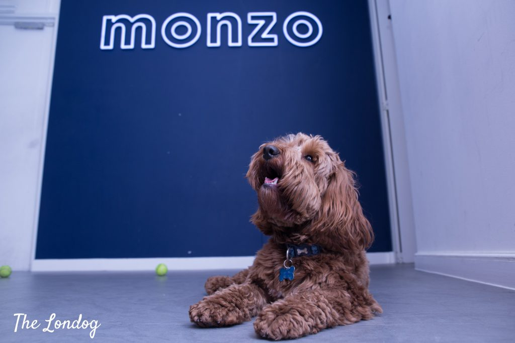 Cockapoo at lies on the floor at Monzo's HQ