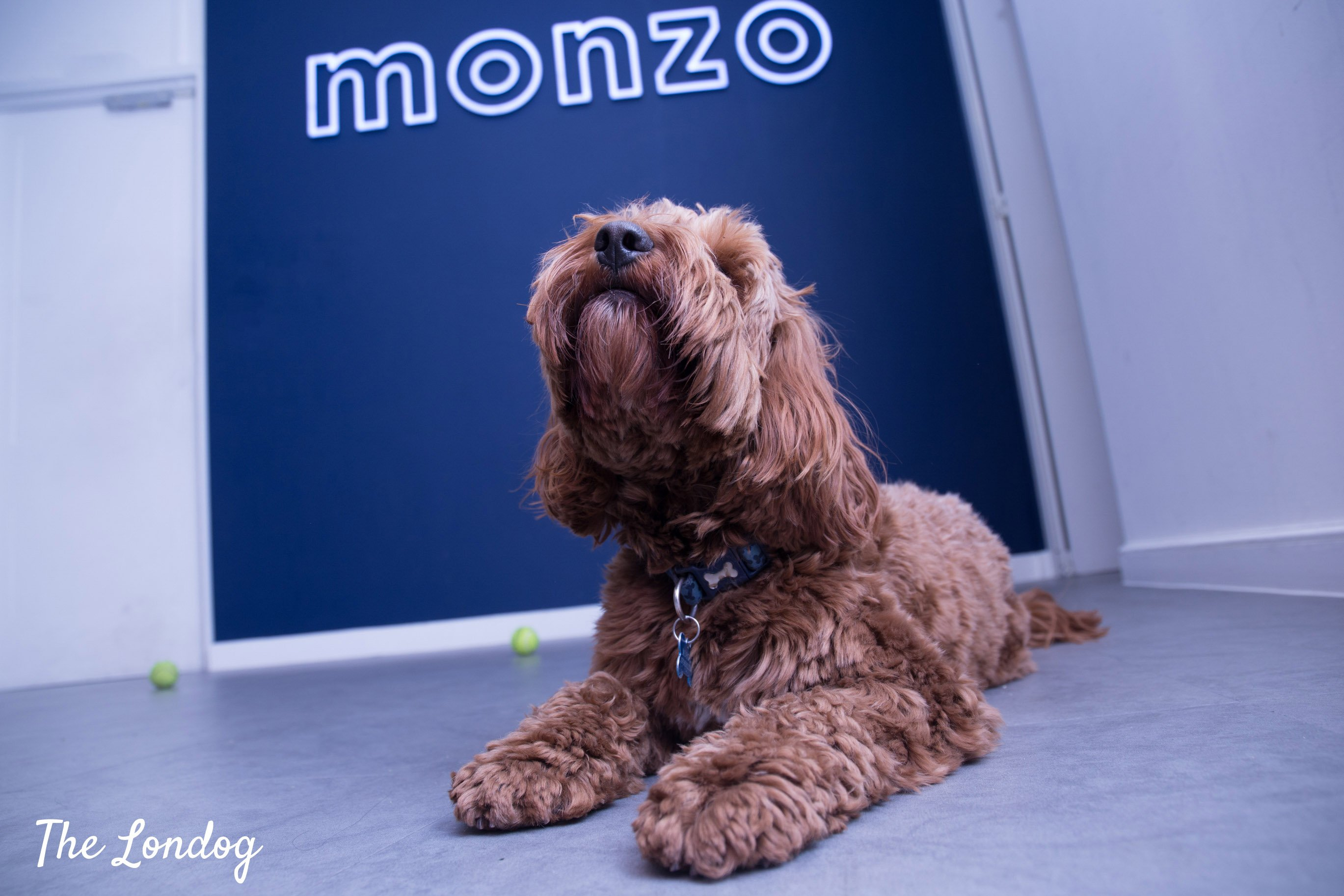 Cockapoo office dog in front of Monzo's logo on the wall