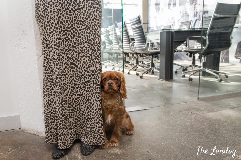 Cavalier office dog hides behind owner's skirt