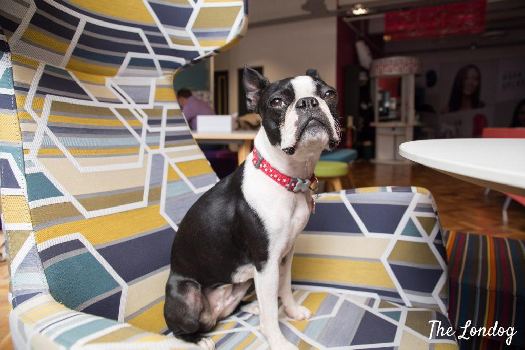 Office dog o chair at Pet Teezer