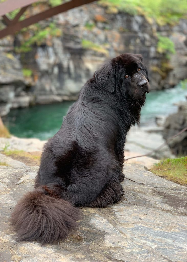 Newfoundland dog looks sadly at her owner asking to get into the water