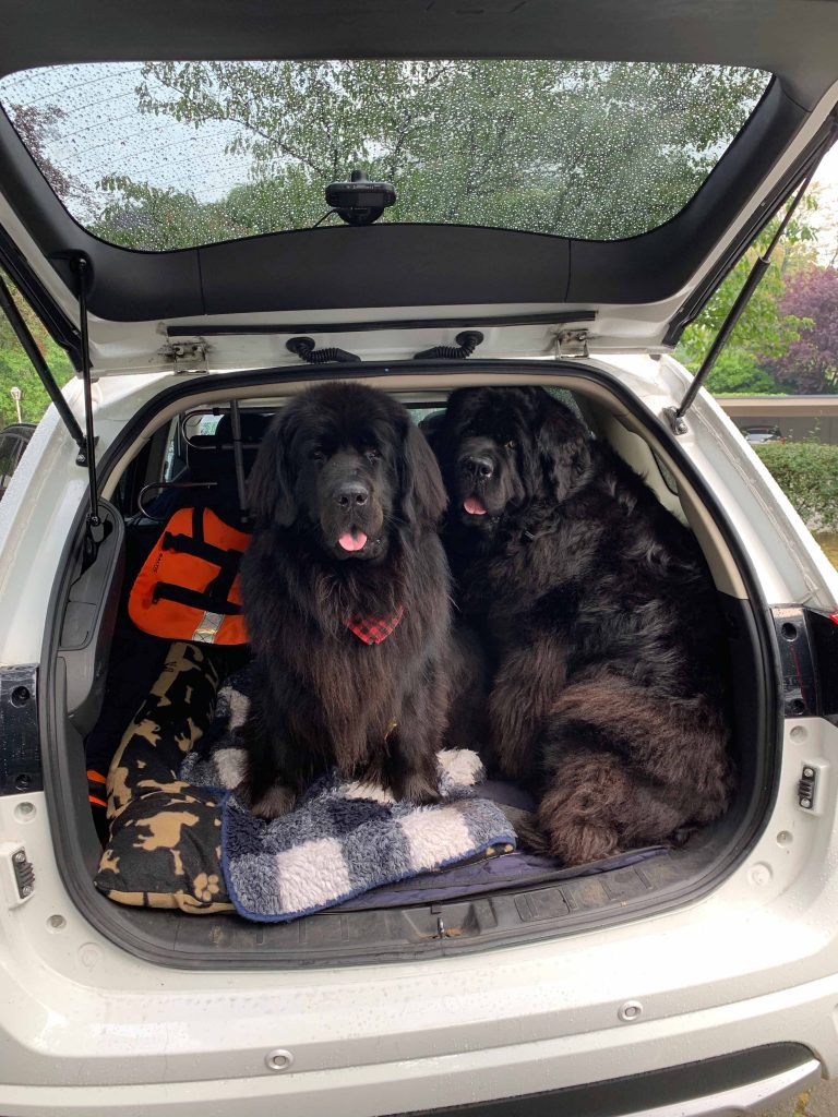 Two newfoundland dogs in a SUV