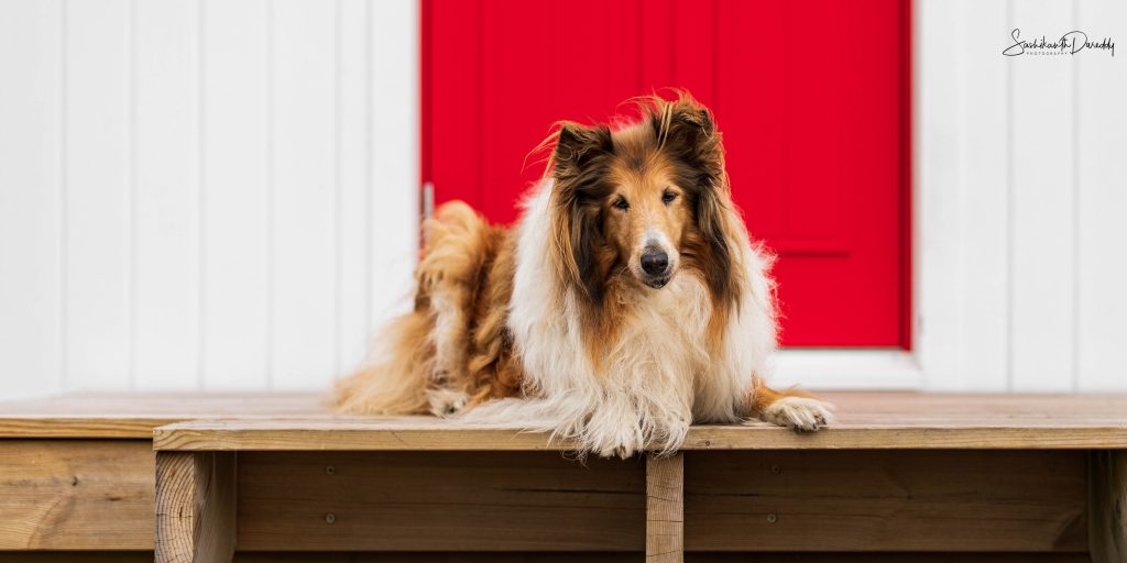 Collie dog in Norway near red door