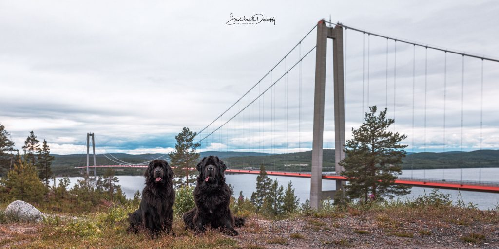 Newfoundland dogs near bridge