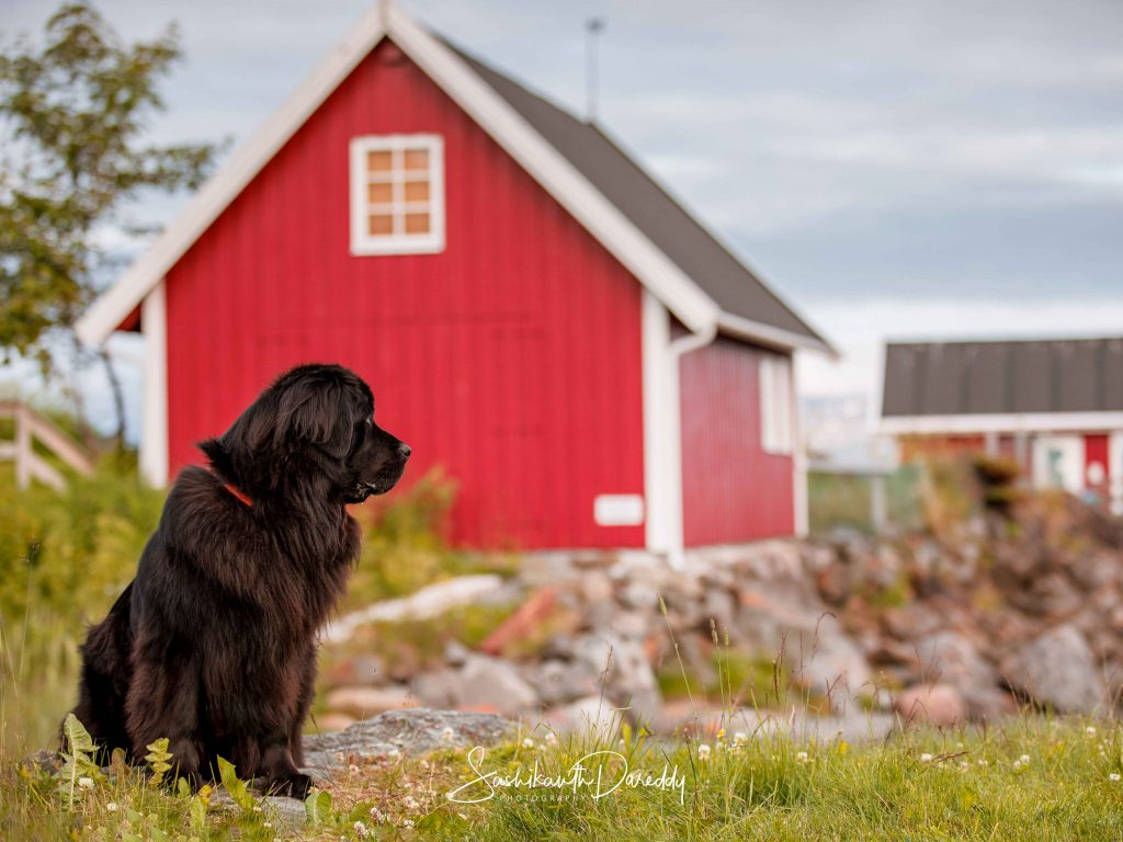 Dog in Norway, near a red wooden house