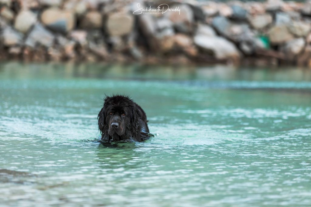 Newfoundland dog swimming in turquoise water in Norway
