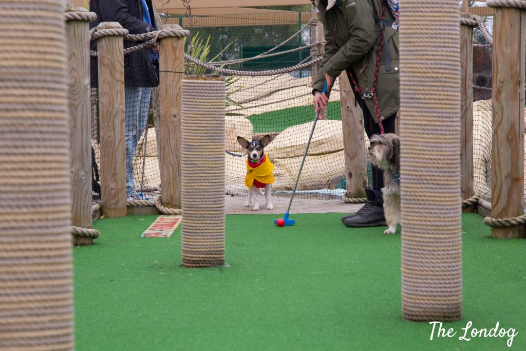 Dog with yellow coat enjoys watching on a mini golf course