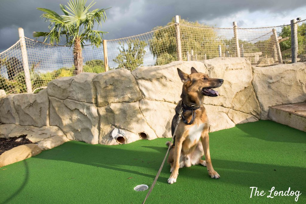 Dog on dog friendly crazy golf course