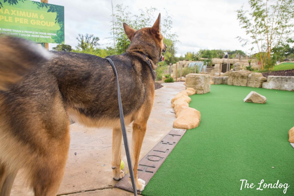 Dog looking at the putt at crazy golf course