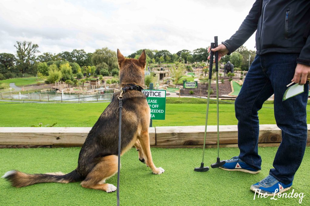 Dog with clubs on green carpet at mini golf course