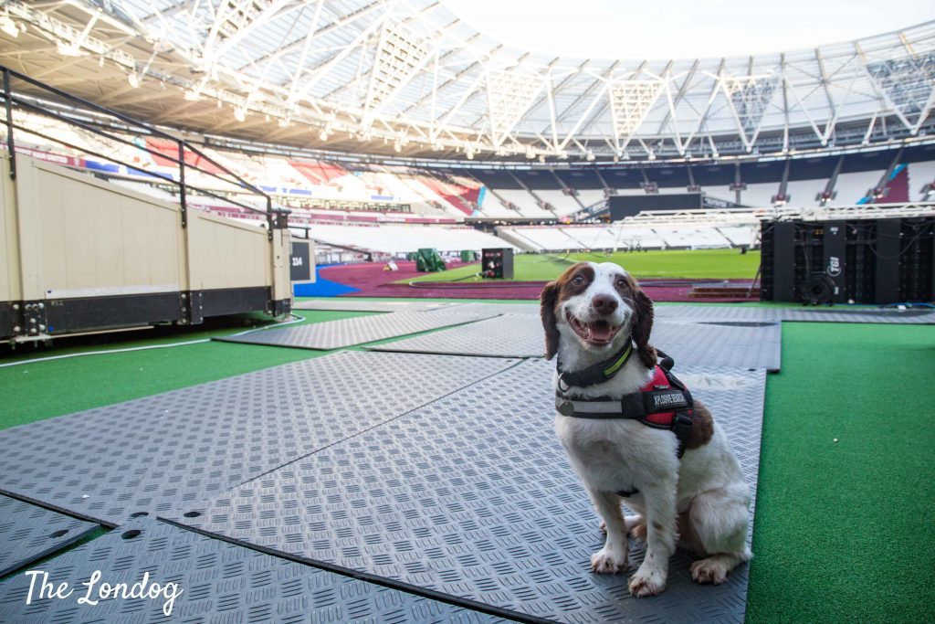 Spaniel explosive search dog at Olympic Stadium