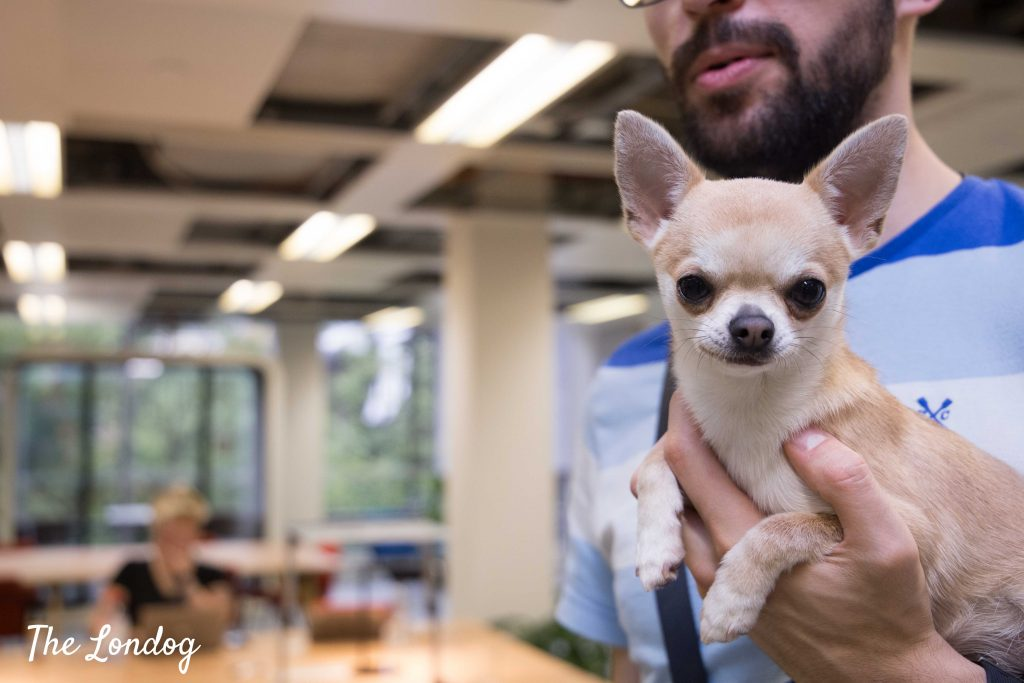 Chihuahua office dog in his owner's arms