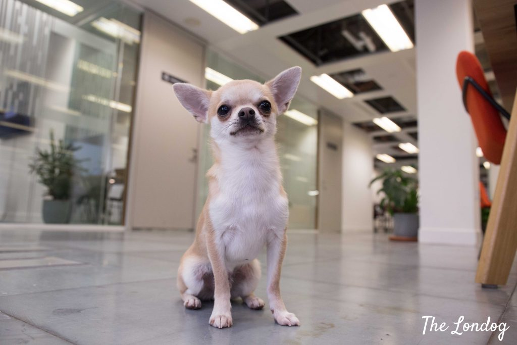 Chihuahua at the office