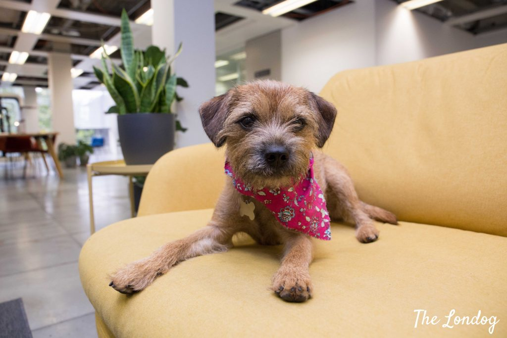 Border terrier office dog on sofa at Tessian