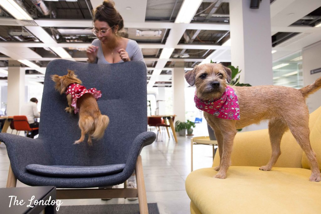 Small dog jumps on chair while border terrier stands on sofa