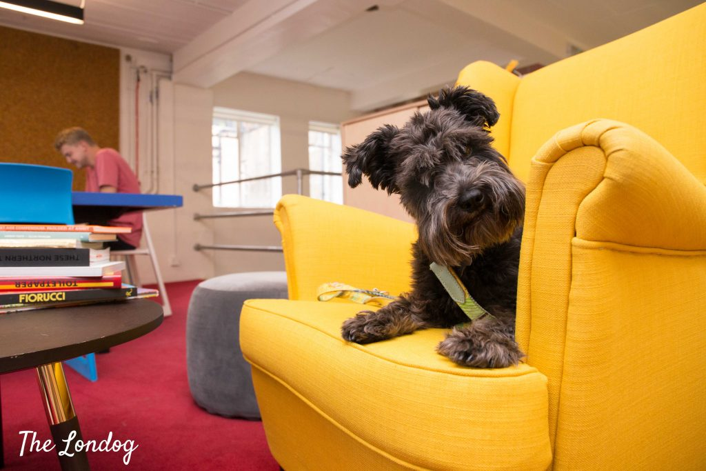 Miniature Schnauzer on yellow sofa at W+K office