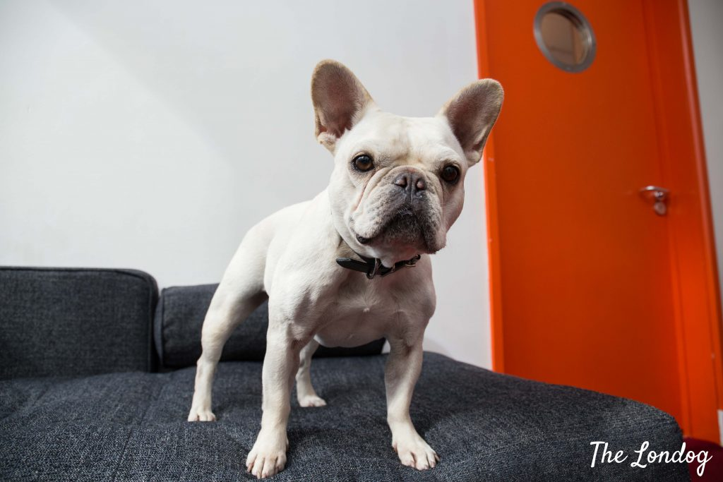 Frenchie agency dog on sofa at W+K office