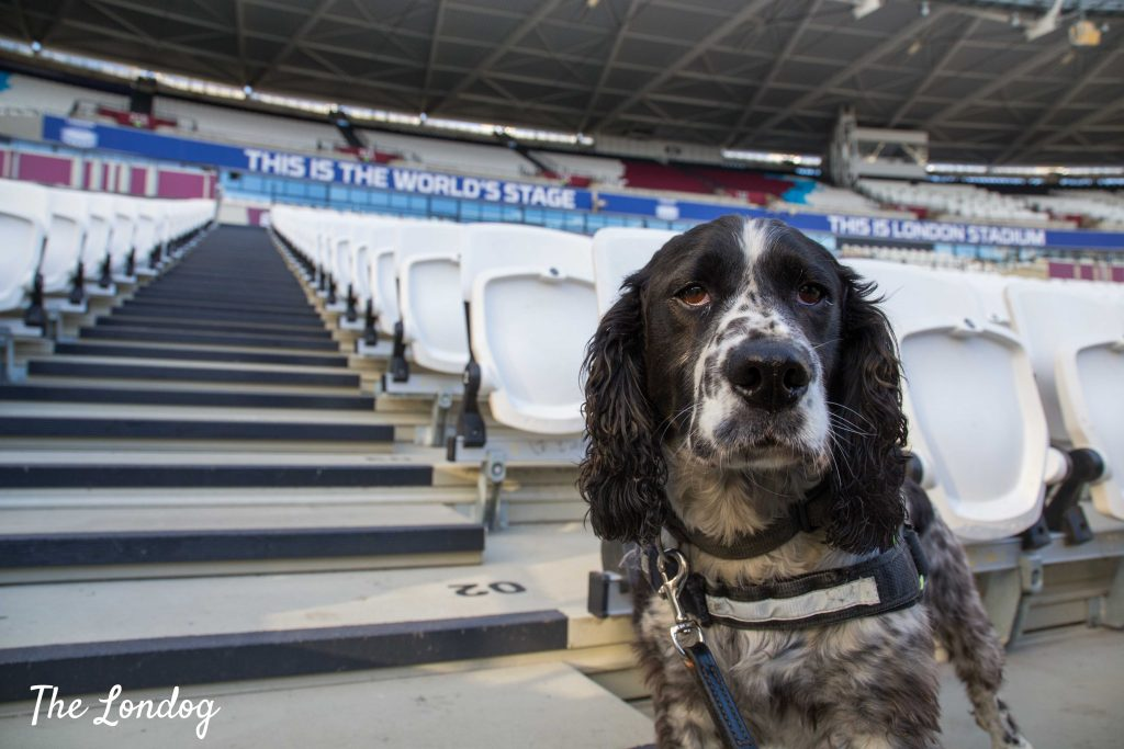 Explosive and narcotics search dog at West Ham stadium
