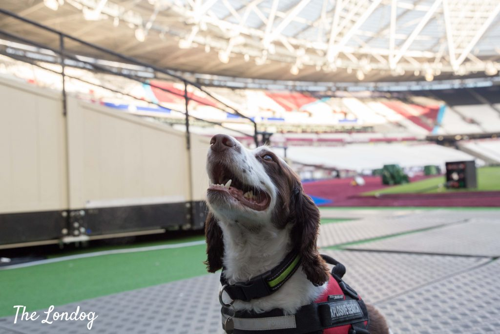 Search dog at the stadium
