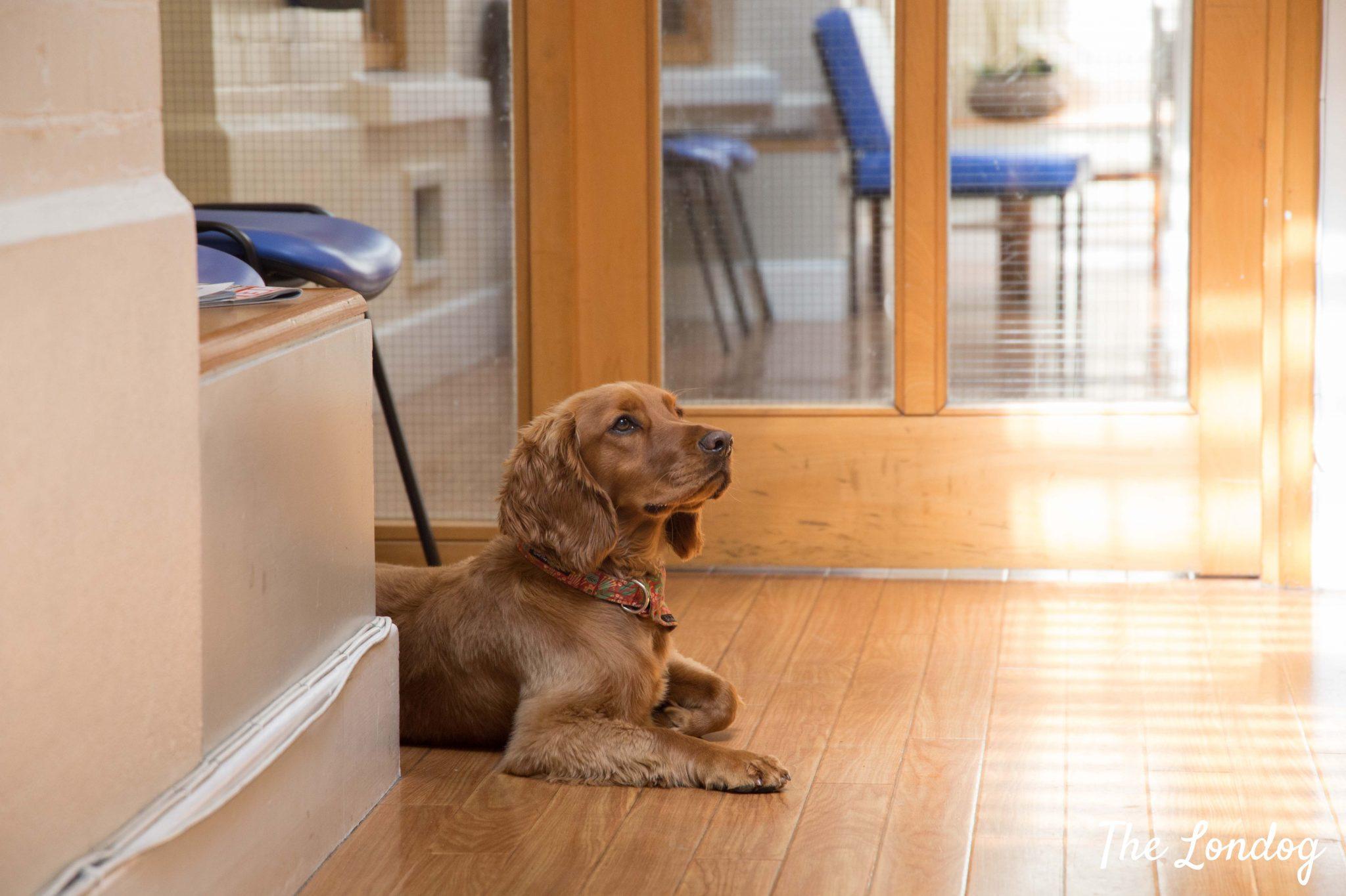 Gp dog lies on the floor