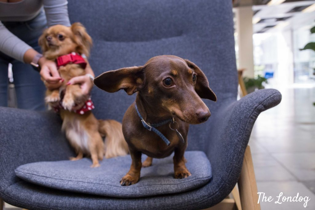 Office dogs on chair