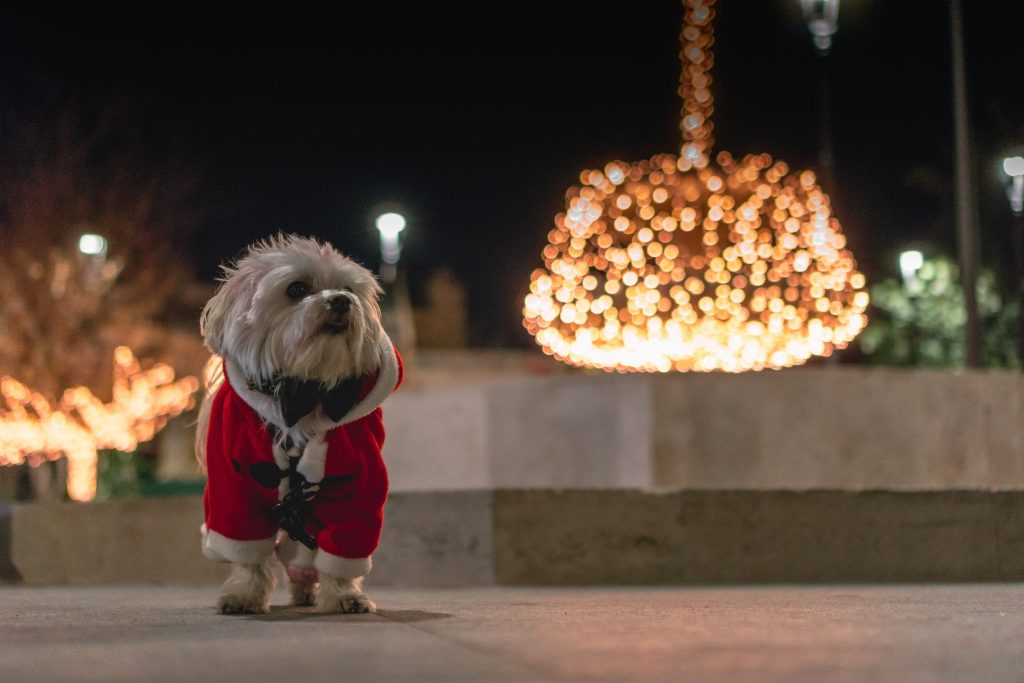 Dog dressed up for Christmas
