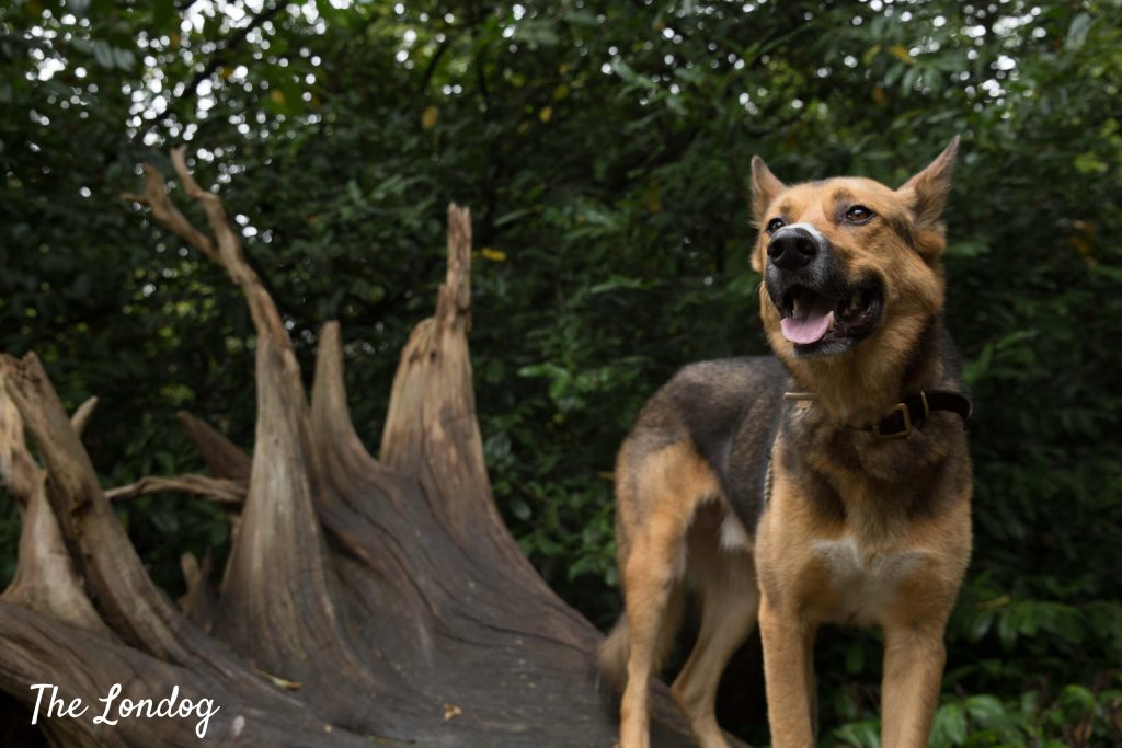 Dog on dead tree at Claremont Landscape Garden