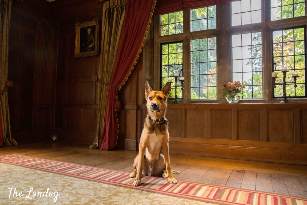 Large dog sitting in historic mansion room hotel