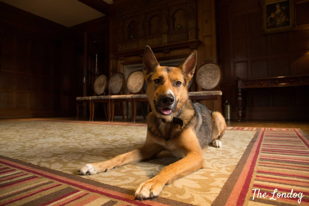 Dog on carpet in luxury hotel mansion Cotswolds